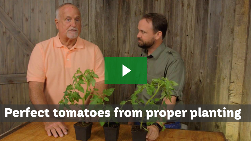 Productive tomatoes start with proper planting