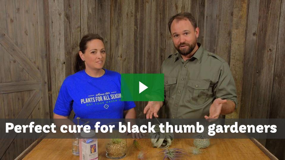 Bromeliads Cure Gardening Black Thumb