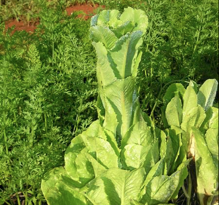 A New Way to Eat Your Greens; Edible Shrubbery