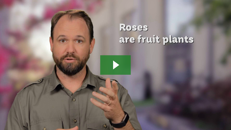 Learn how roses are fruit plants