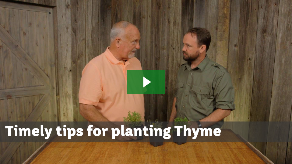 Timely Tips For Planting Thyme