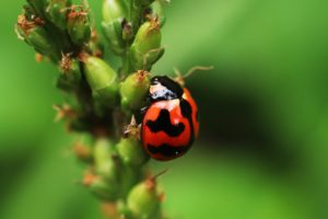 Ladybugs - Beneficial Insects for your Garden