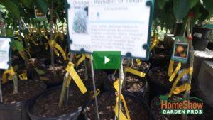 Best fruit trees for pots?