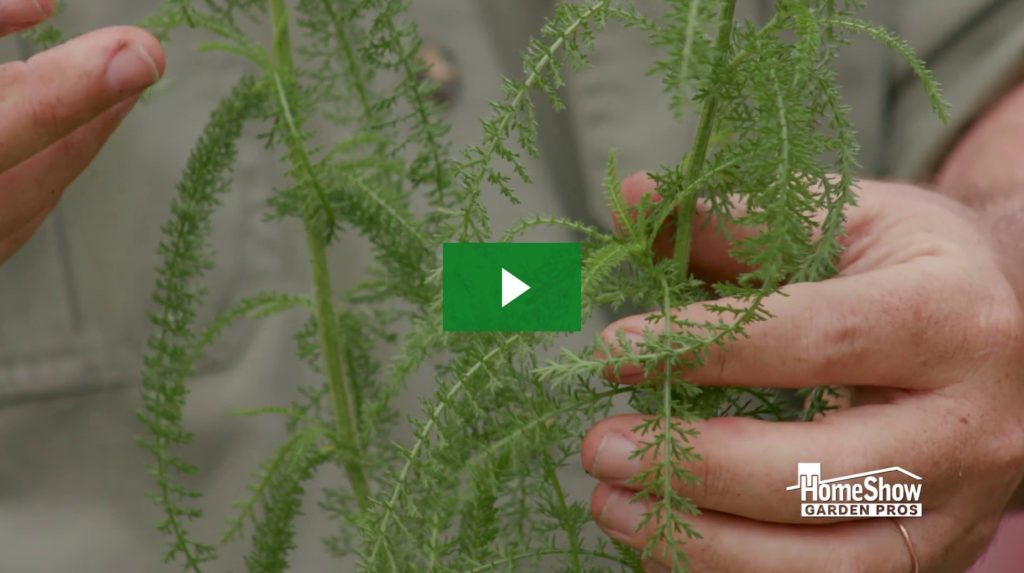 Antiseptic Plants