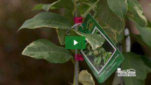 Lemon Tree Care Tips