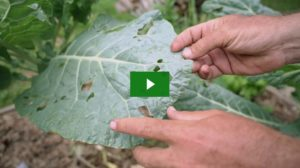 Collard Greens Pest Control