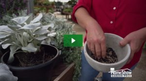 Silver Leaf Plant Care