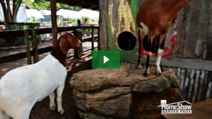 Enchanted Goats
