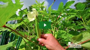When to Pick Okra & Zucchini