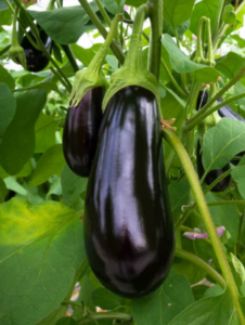 eggplant - growing eggplants