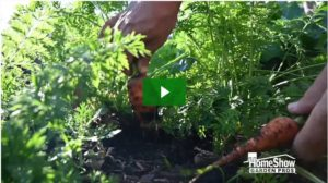 tips on growing carrots
