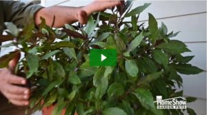 how to grow okinawa spinach
