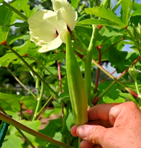 okra - warm season vegetable gardening