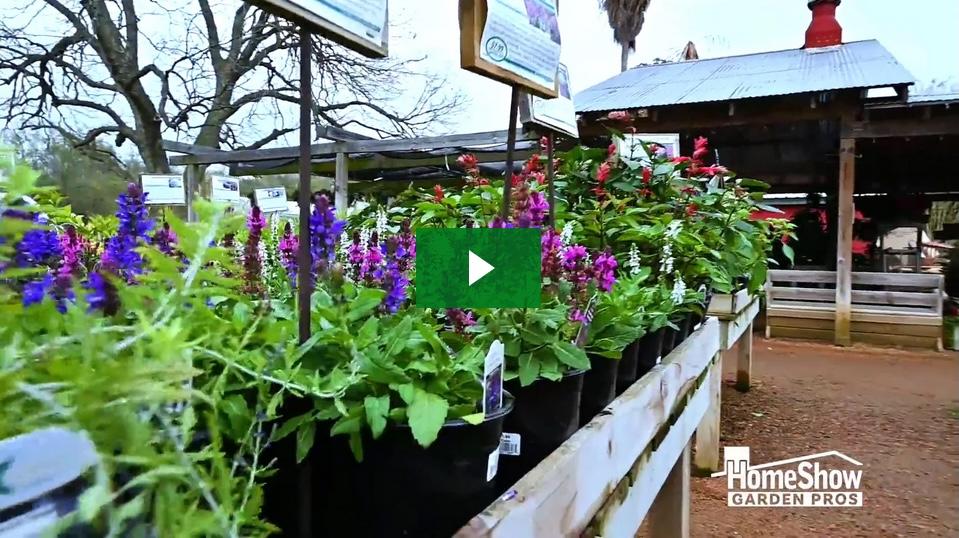 Pleasant Perennial Salvia